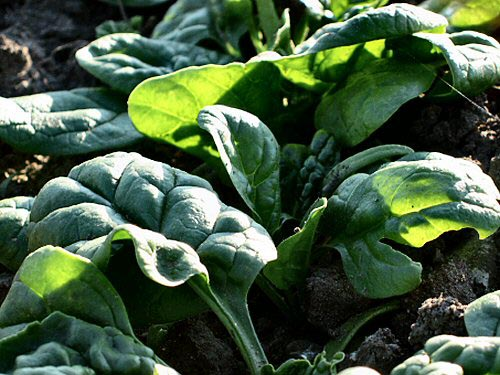 Deadline Spinach